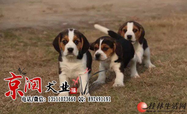 北京哪里有卖纯种比格小狗的