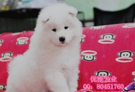 纯种萨摩耶 赛级萨摩耶 北京哪有出售萨摩耶幼犬的