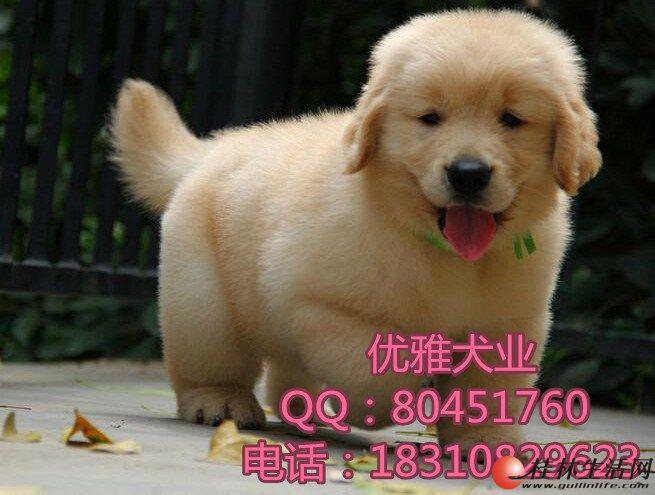 高品质大脑袋金毛幼犬纯种健康 纯种金毛多少钱