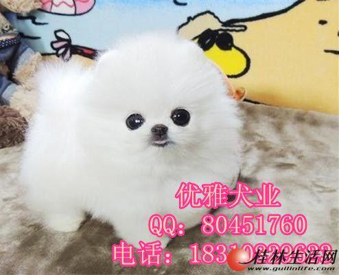 出售纯种哈多利博美幼犬 北京博美多少钱