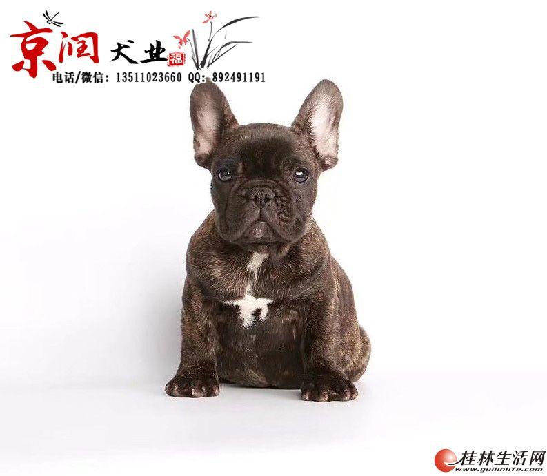 北京有卖虎皮色法国斗牛犬的吗