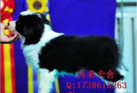 纯种阿拉斯加 北京阿拉斯加价格 超大骨量阿拉斯加犬