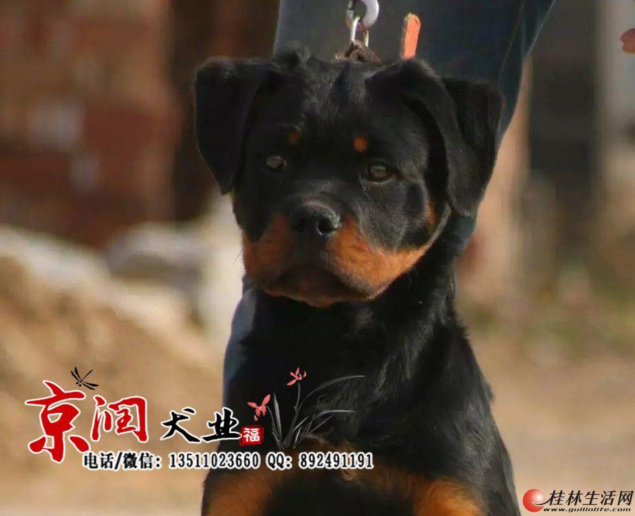 北京哪里有卖罗威纳小狗的