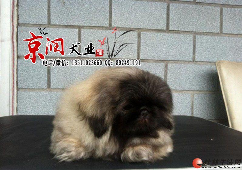 双血统北京犬出售 北京免费送货上门