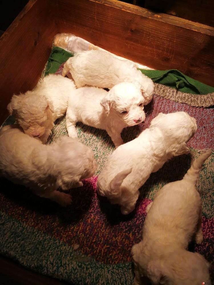 为出生三十多天的纯白色比熊犬宝宝寻找新主人