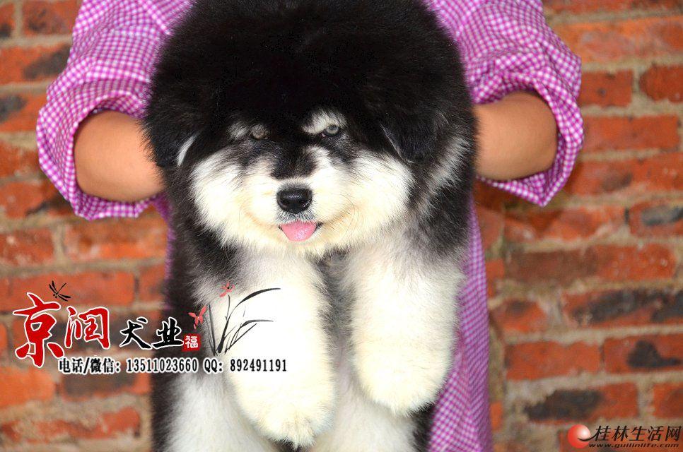 熊版十字脸阿拉斯加幼犬多少钱一只