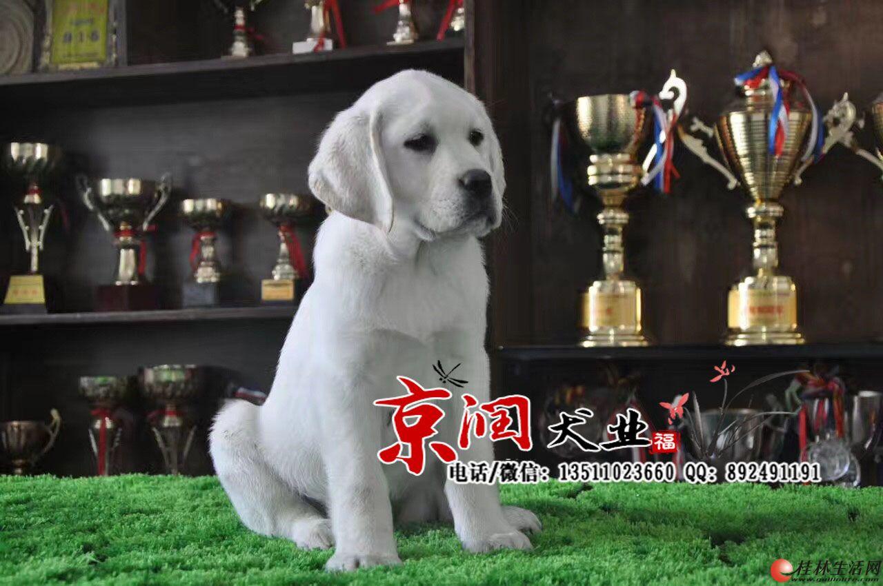 桂林有卖纯种拉布拉多小狗的吗