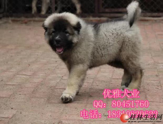纯种高加索幼犬 健康保证 巨型高加索幼犬
