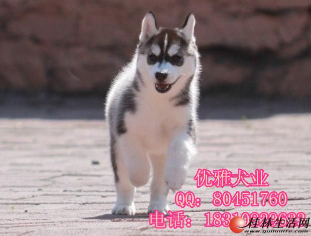 赛级哈士奇 蓝睛哈士奇幼犬,疫苗齐全