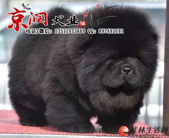 纯种松狮犬多少钱一只 黑色松狮的价格