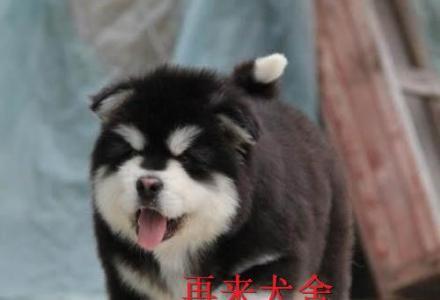 赛级幼犬 精品阿拉斯加 特价出售 纯种阿拉斯加价格