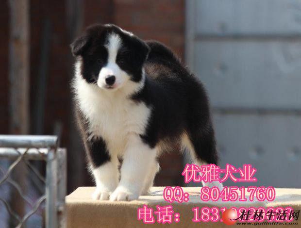 北京边牧 精品边境牧羊犬出售 公母多只可挑选