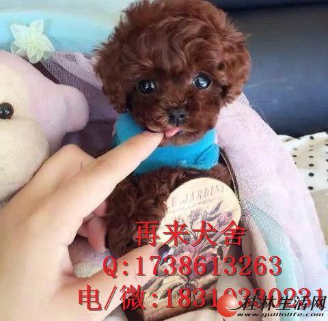 纯种泰迪熊 北京纯种泰迪犬多少钱 直销高品质泰迪犬 可送货