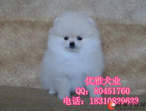 博美犬多少钱博美犬价格博美犬图片