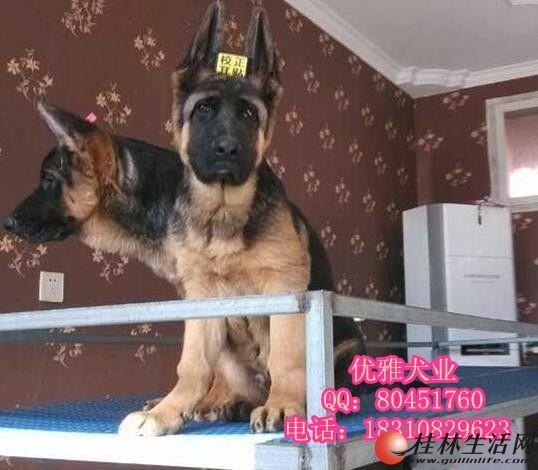 纯种锤系德牧出售 北京哪里卖德牧幼犬 赛级德牧