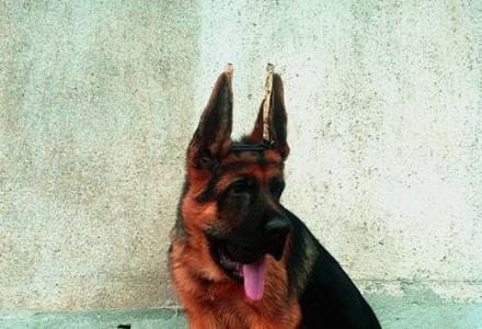 纯种德国牧羊犬 大头黑脸德牧 精品德国黑背 三个月包退换