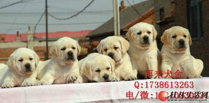 赛级拉不拉多犬价格 2到3个月奶油色黑色拉不拉多