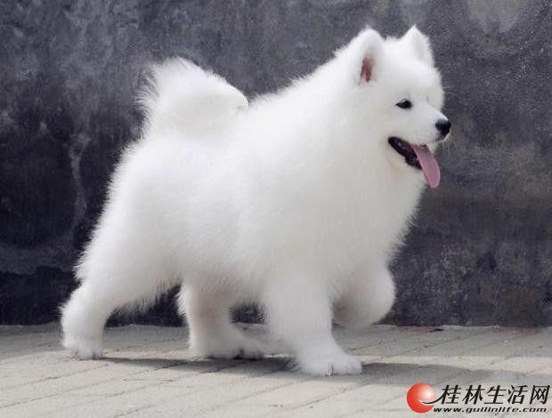 萨摩犬 萨摩图片 萨摩价格 萨摩耶犬