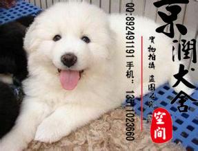 纯种大白熊多少钱一只 大白熊的价格