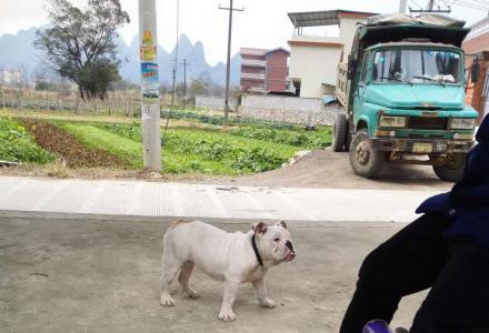 贱卖英牛一只,4个多月,中等能量狗狗,很听话。