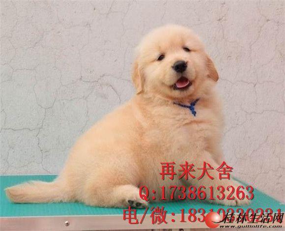 纯种金毛 金黄色金毛犬 专业繁殖精品金毛犬 可送货