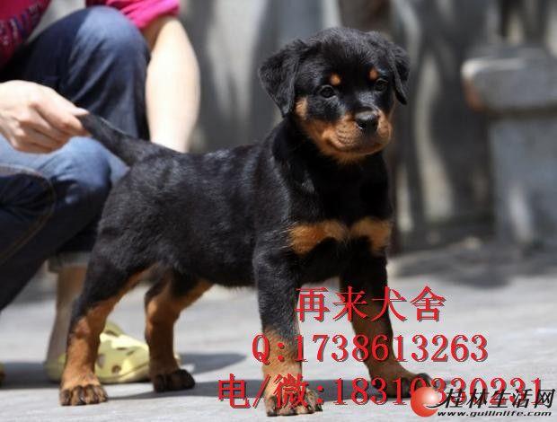 德系罗威纳 纯种罗威纳 高品质罗威纳犬 签质保协议 全国包运