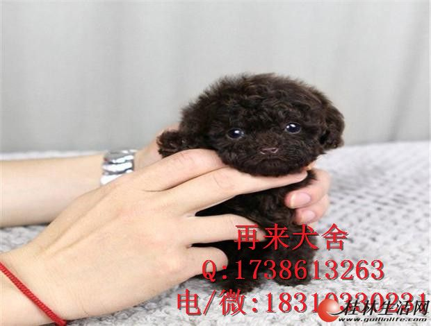 纯种泰迪幼犬价格 赛系泰迪图片 纯种泰迪犬舍