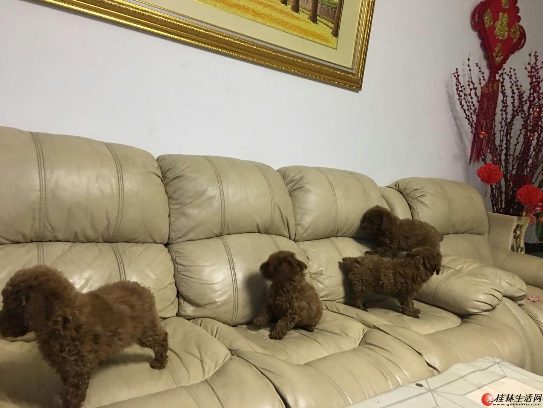 出售4只小贵宾犬,有意者联系