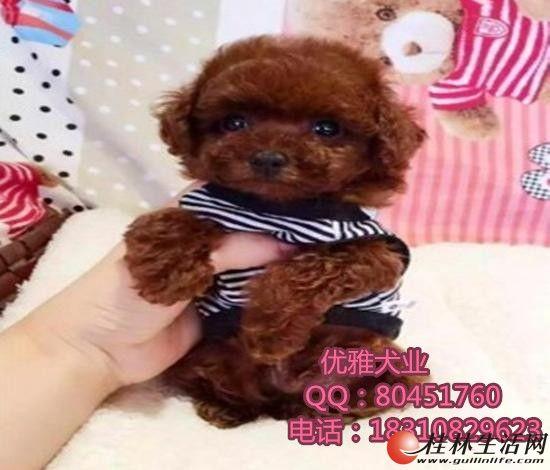 精致的泰迪熊犬-玩具体微小玩具茶杯体-可来家里挑选