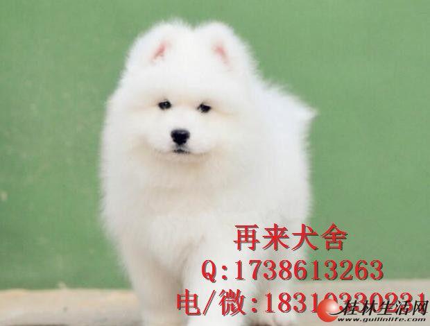 熊版高加索幼犬 赛级品质 宠物级价格 保质保健康