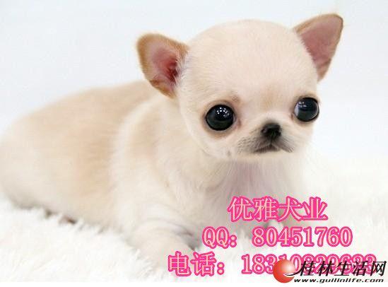 纯种吉娃娃幼犬价格 哪里有繁殖吉娃娃的犬舍