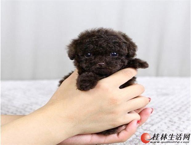 哪里有卖泰迪熊狗 纯种宠物狗泰迪熊出售