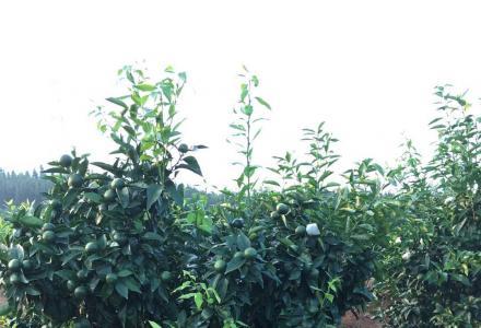 30多亩山地转租,位于兴安县溶江镇