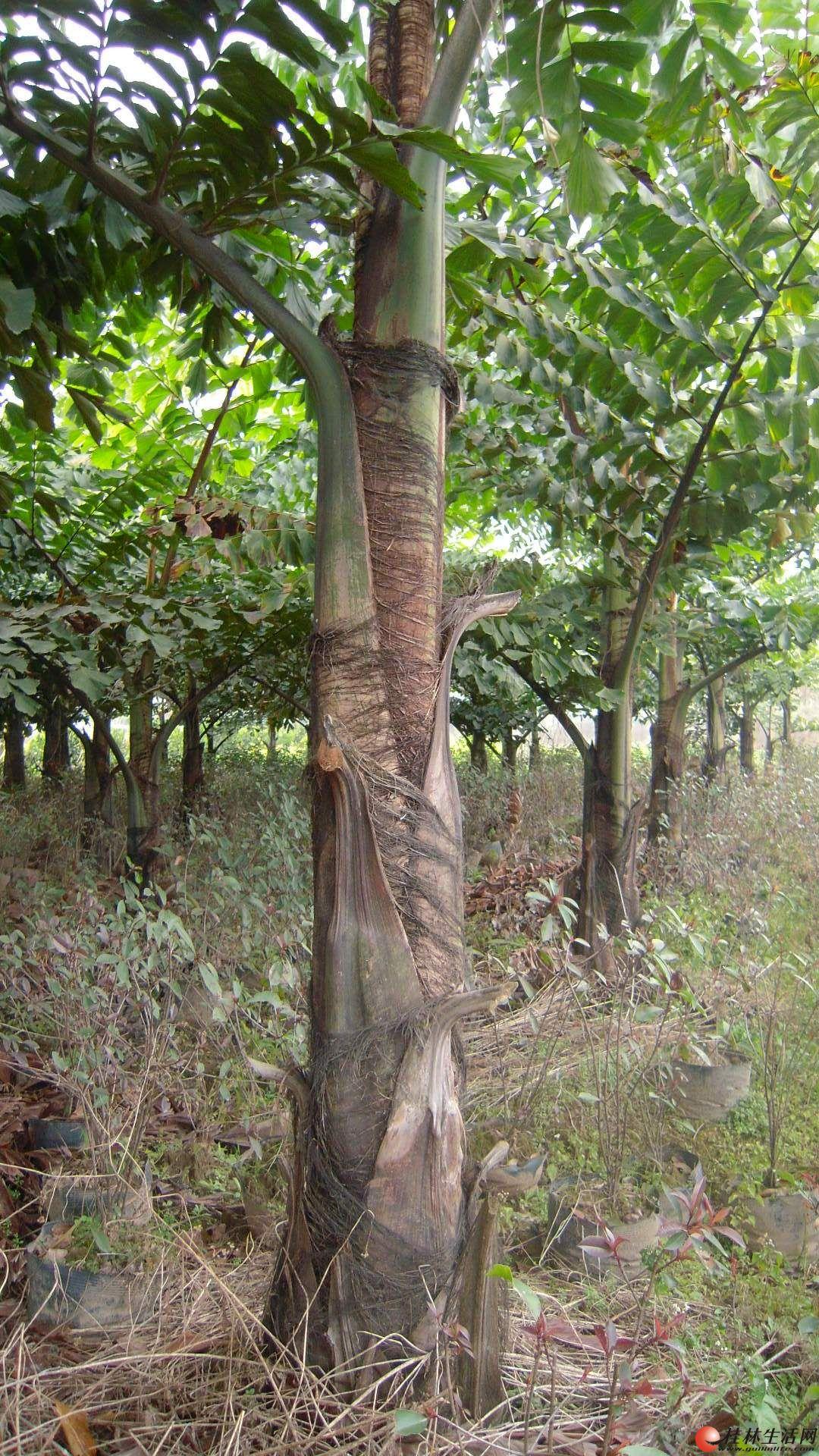 董棕树出售,春天绿化好消息
