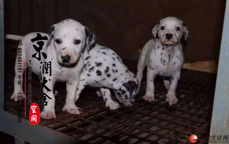 纯种斑点活体幼犬交易