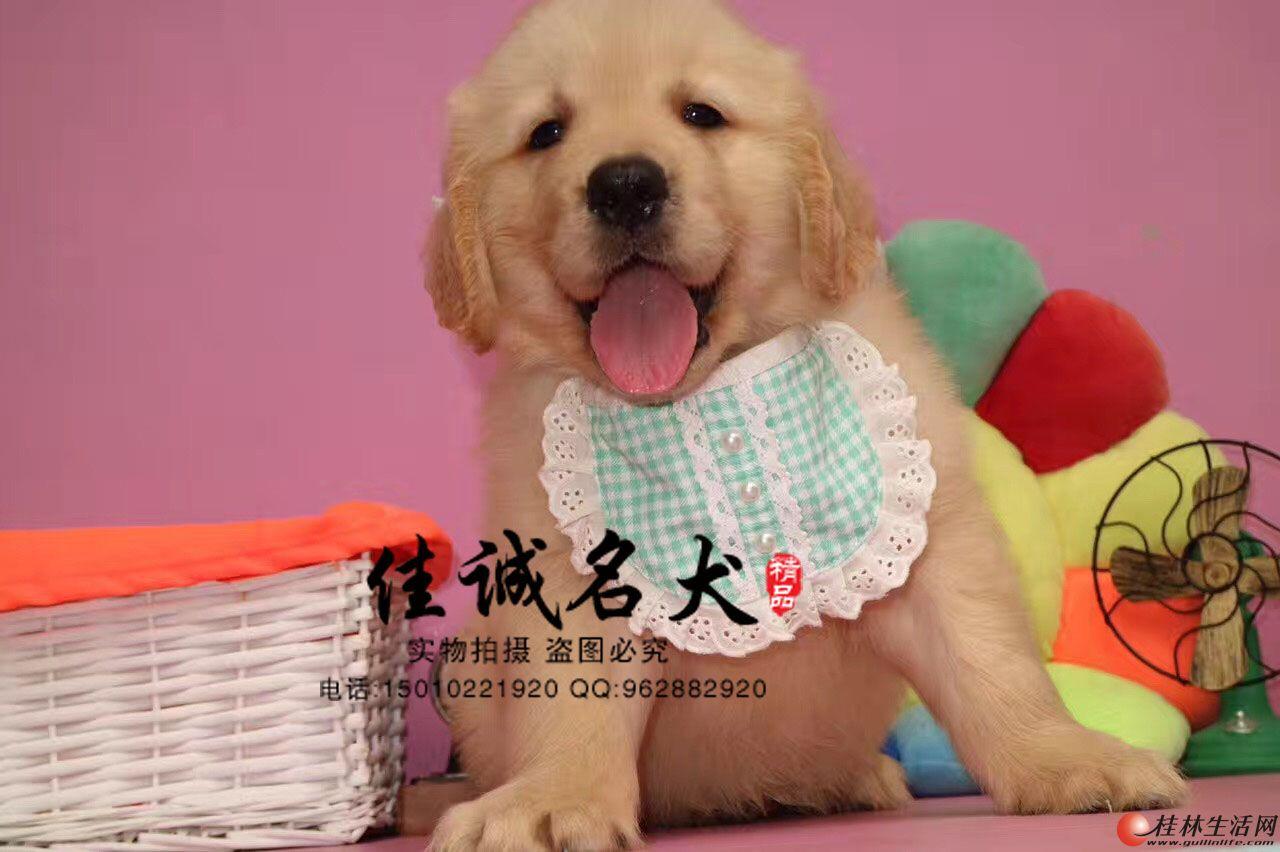 纯种金毛幼犬多少钱一只