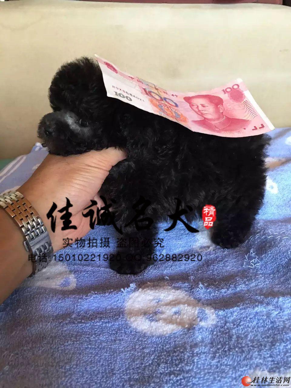 纯种泰迪幼犬多少钱一只