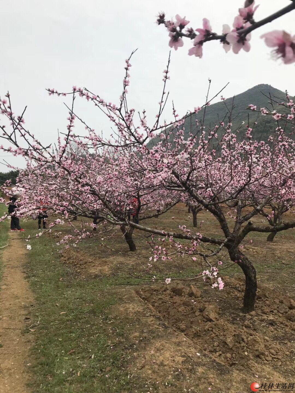 桂林海洋看桃花油菜花