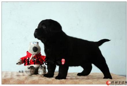 北京哪里卖纯种拉布拉多犬