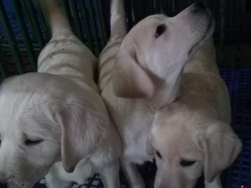 家养双血统拉不拉多狗在桂林金鸡岭
