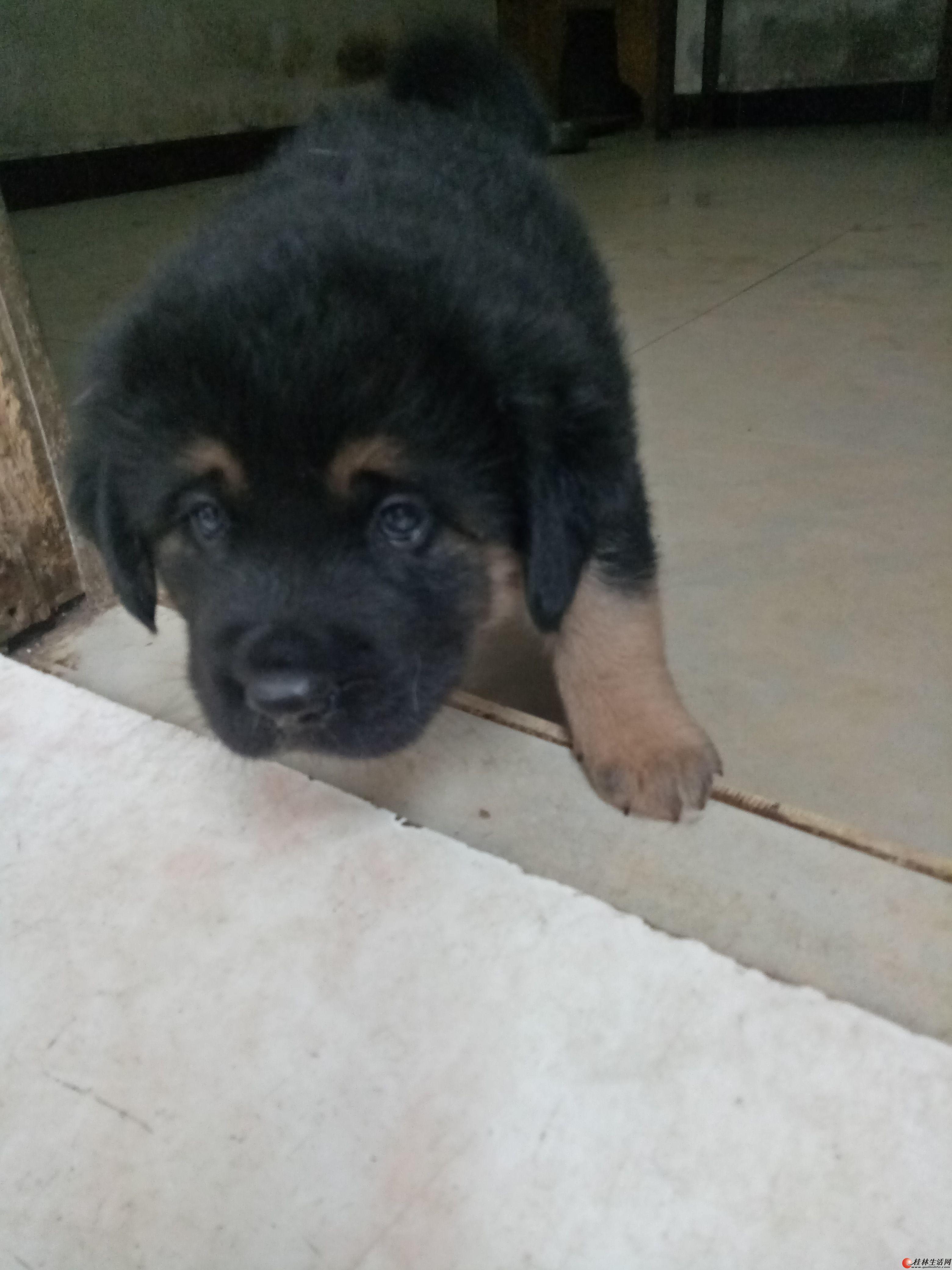 出售罗威纳小狗公的。上门看仔。