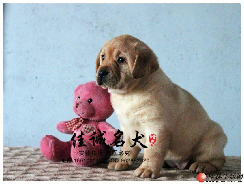 哪里卖纯种黄色拉布拉多犬