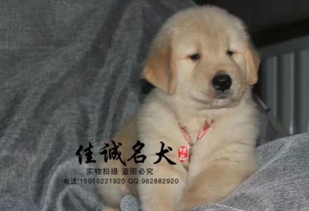 哪里卖纯种大头金毛犬