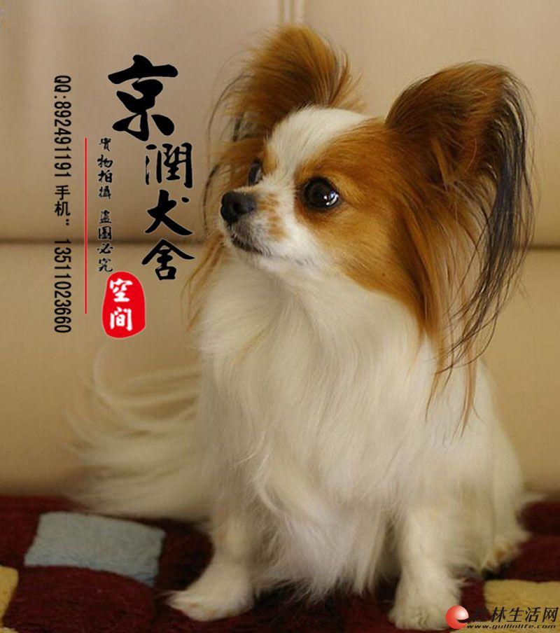 北京哪里出售纯种蝴蝶犬