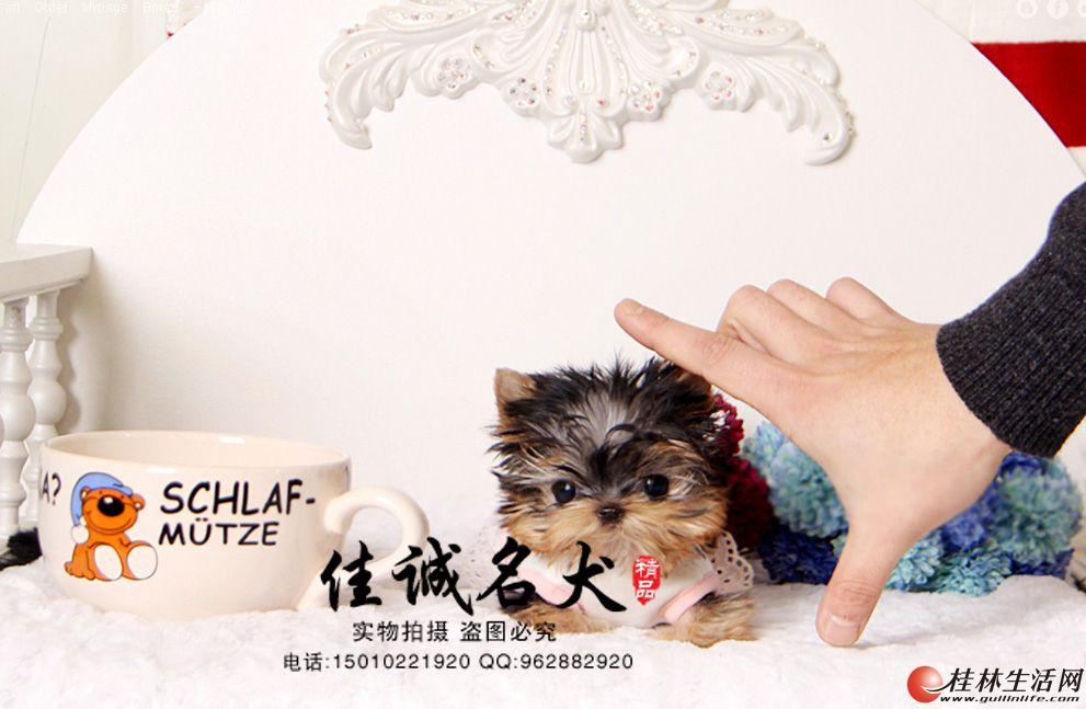 北京哪里卖纯种小体约克夏