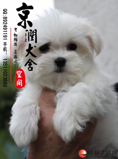 北京哪里卖纯种马尔济斯犬
