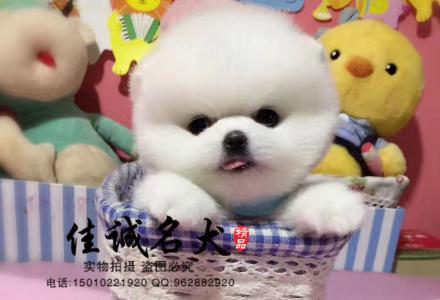 哪里有卖纯种茶杯博美犬的
