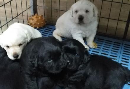 可爱的拉布拉多幼犬出售