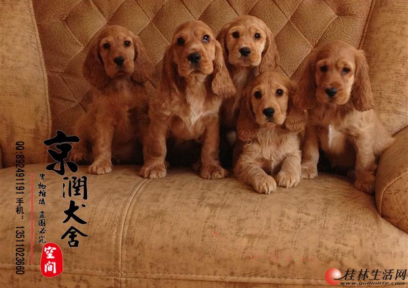 北京哪卖可卡幼犬 好养吗