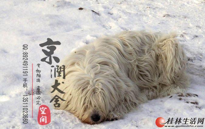 北京哪里卖纯种可蒙犬